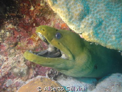 Green Moray Eel by Alberto Salvini